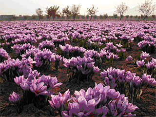crocus_sativus_2_on_fields